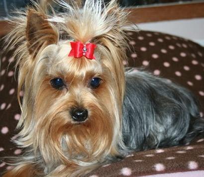 Причёски для йорков девочек фото